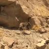 یک گونه خرس قهوه ای کمیاب درمسجدسلیمان مشاهده شد