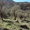 نیمی از درختان بلوط زاگرس بیمار و در خطر خشک شدن هستند